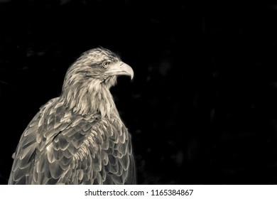big one eagle of color sepia closeup with a predatory look and with a terrible beak separately in the foreground and on a black background