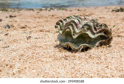 big open shell in the sand