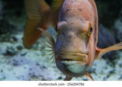 Big orange fish close in an aquarium -up