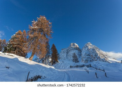 Big orange larches near a snowy path at the foot of Mount Pelmo at sunset, Val Fiorentina, Dolomites, Italy. Concept: winter landscapes, Christmas atmosphere, winter tourism