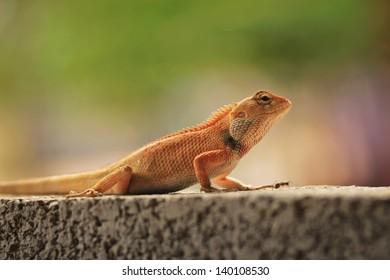 Big orange lizard on the stone wall in Vietnam