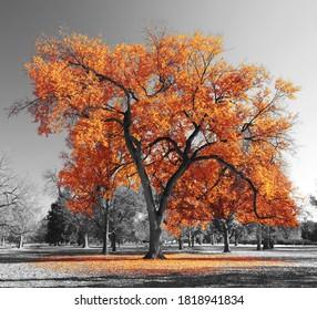 Big orange tree in a black and white landscape scene