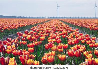 big orange tulip field on dutch farmland, Netherlands