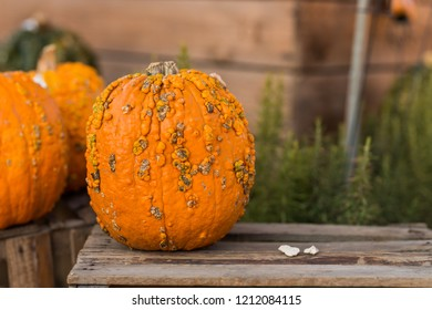 Ugly Pumpkin Images Stock Photos Vectors Shutterstock