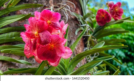 Big orchid with large petals. Extreme red and pink flower from National Orchid Garden, Singapore