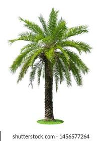 Big palm tree isolated on white background.