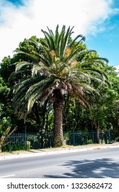 A big Palm Tree standing directly at the street
