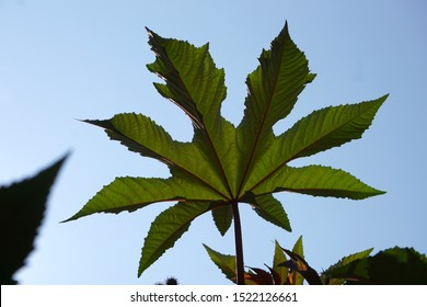 Big palmate leaves of a castor oil plant (Ricinus communis) against blue sky(Chavornay, Vaud, Switze