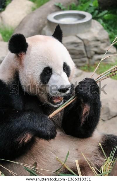 big-panda-eats-bamboo-stalk-600w-1366318