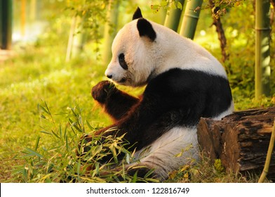 big panda sitting on the forest floor eating bamboo