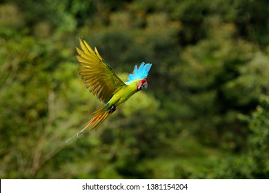 Big parrot in habitat. Endangered parrot, Great green macaw, Ara ambiguus, also known as Buffon's macaw. Wild tropical forest bird, flying with outstretched wings against green vegetation, Colombia