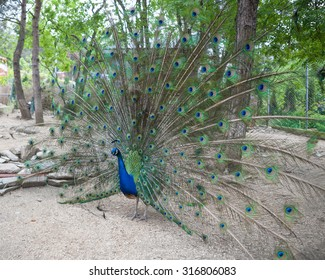 Big peacock showing its beautiful feathers