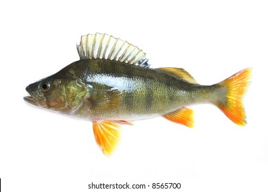 Big Perch isolated over white