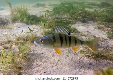 Big perch on the plants background