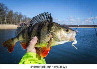 Perch Fish Images, Stock Photos & Vectors | Shutterstock