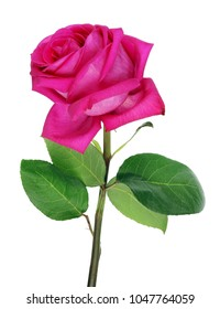 Big perfect pink rose of the variety  Big Purple isolated on white color
