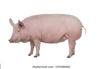 big pig isolated on white background