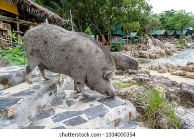 Big pig near the beach cafe on the island of Koh Phangan, Thailand. Close up
