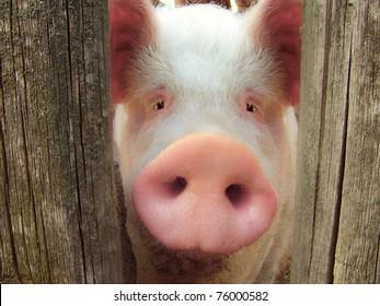 Big pig on a farm in a pigsty