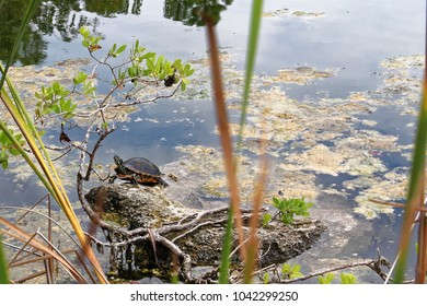 Big Pine Key, Florida, USA - July 21, 2016: Oasis in the middle of Big Pine Key with turtle