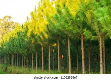big pine plantation