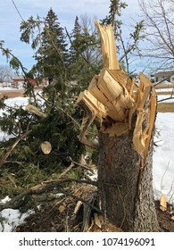Big Pine Tree broken and twisted from a wind storm