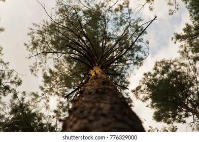 Big pine tree on the sky background