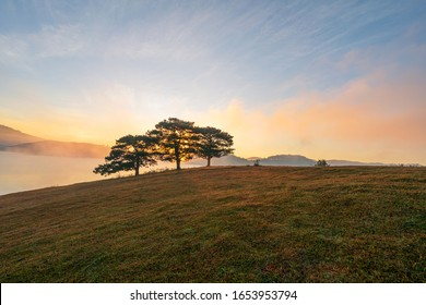 Big pine trees on yellow grass hill in early morning