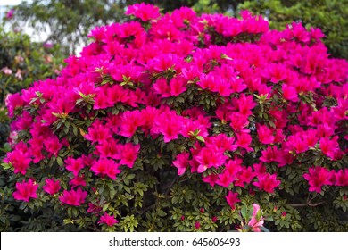Azalea bush images stock photos vectors shutterstock big pink azalea bush in the garden season of flowering azaleas mightylinksfo