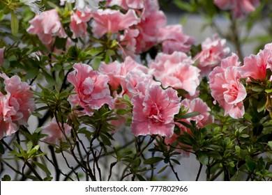 Big pink azalea bush or rhododendron in garden. Season of flowering azaleas (rhododendron). Colorful azalea flowers in a Japan park. Azaleas are shade tolerant flowering shrubs in genus Rhododendron.