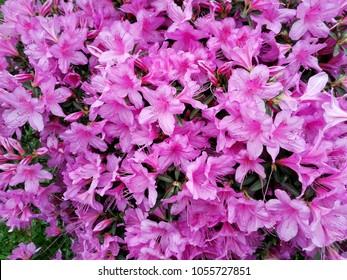 Big pink azalea rhododendron bush shrub stock photo edit now big pink azalea rhododendron bush or shrub leaves in the park japanese garden mightylinksfo