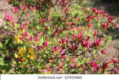 Big pink azalea or rhododendron in a organic  garden. Season of flowering azaleas . Azaleas are shade tolerant flowering shrubs in genus Rhododendron.