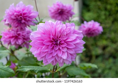 big pink blossom of a asteraceae dhalia