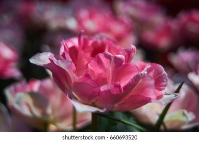 Big pink flower blossom with field of pink flowers in the blurry background