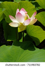 Big Pink Lotus Bloom