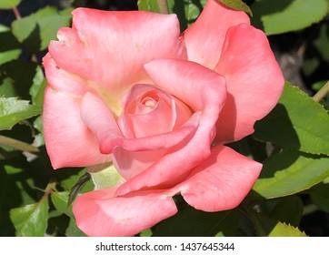 Big pink rose blossom in garden