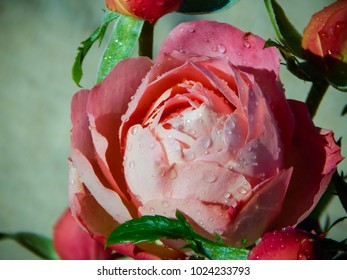 Big pink rose closeup. Drops of water on a rose flower. Dew on the bud. Celebratory background. Flower postcard.