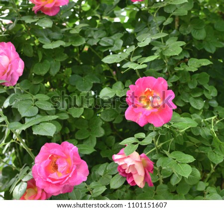 Big Pink Roses On Pink Bush Stock Photo Edit Now 1101151607
