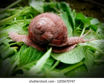 A big pink snail with a cracked sink somewhere in a hurry on a green leaf. Snail the traveler. Hurry slowly - then you'll have time! Close-up.