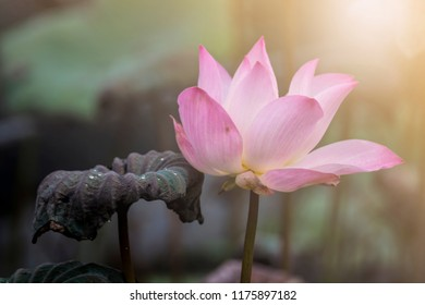 Big lotus flower images stock photos vectors shutterstock big pink and white lotus flowers with lotus leaf in the lake on the nature blur mightylinksfo