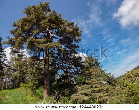 Big Pinus