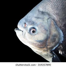 big piranha in the aquarium