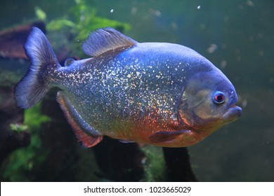 big piranha fish as danger in nature