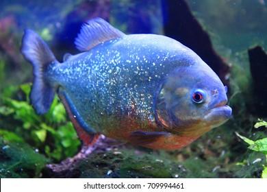 big piranha fish as danger in nature