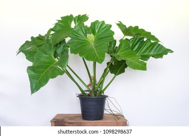 """Big philodendron""""elephant ear"""" plant in pot on old wooden table on white wall background"""