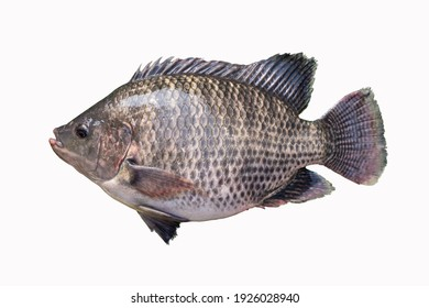 Big plentiful fat tilapia fish isolated on white background.