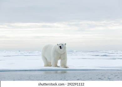 Big polar bear on drifting ice edge with snow and water in Arctic Svalbard.