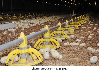 Big poultry rearing farm