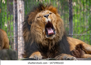 """Big and powerful lion """"King of beasts"""""""