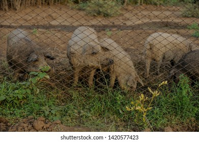 Big producer of hairy wild boar. Meat breed of swine Duroc. Pigs couple outdoors in dirty farm field. Name in Latin: Sus scrofa domesticus. Hogging pig Mangalitsa boar. Concept growing organic food